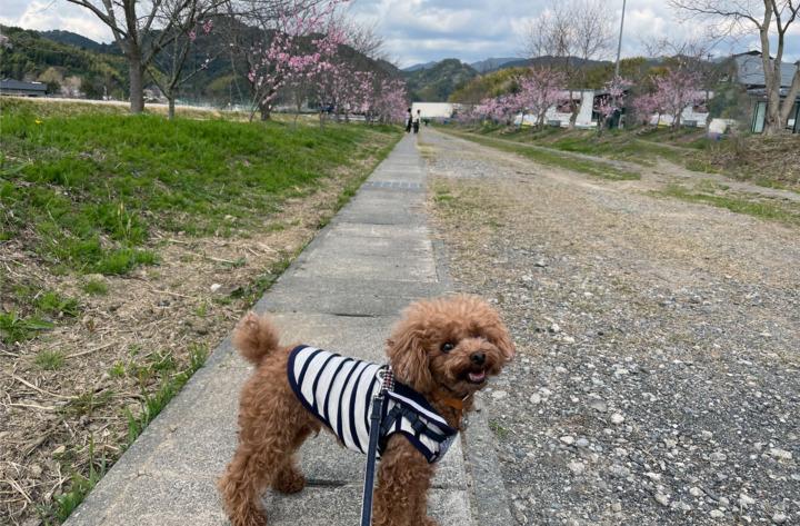 白藤の里へアーモンドの花を見てドッグランで遊んできたよ(藤枝市北方)