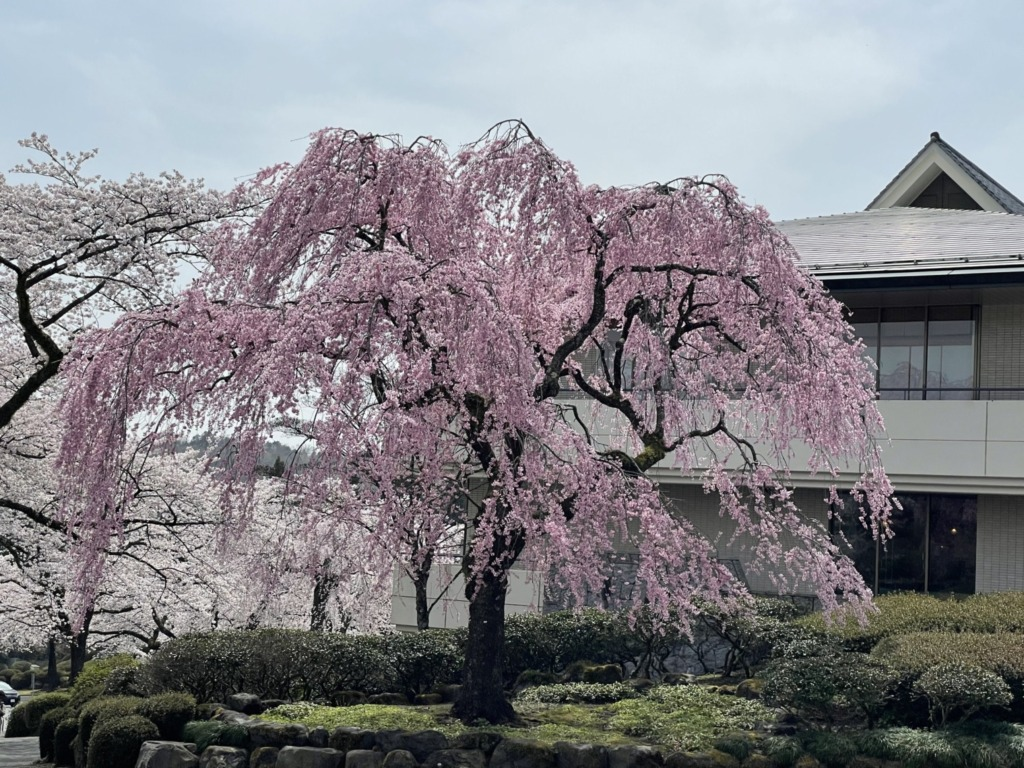ピンクの枝垂桜
