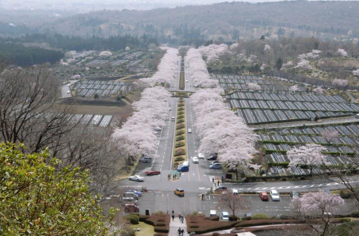 富士霊園に桜を見に行ってきたよ(小山町)